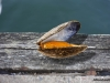 lysekil-mussla